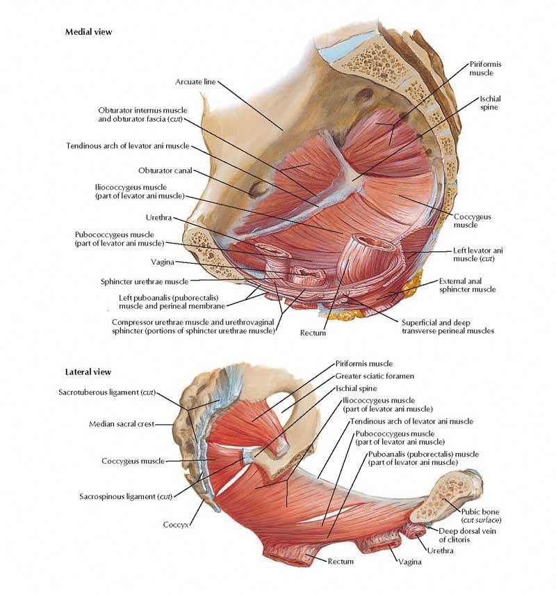 Pelvic Floor Diaphragm Female Anatomy